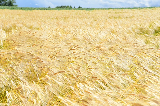 黄金に輝く大麦風景