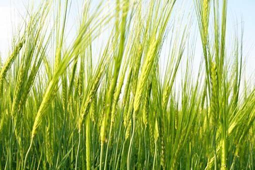 成長を続ける大麦