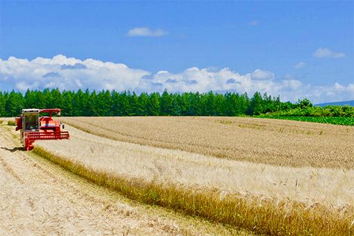 もち麦収穫風景